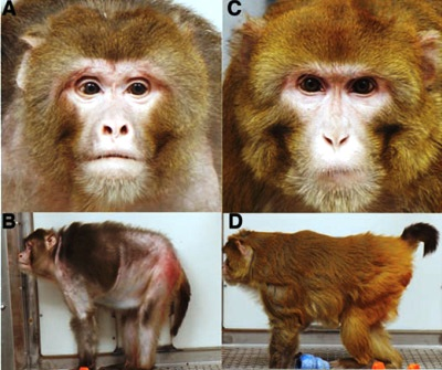 monkeys-on-caloric-restriction-experiment